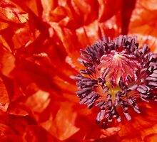 red poppy by Mike Finley
