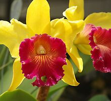 Cattleya by Rainy