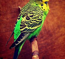 Budgie by Wonderful DreamPicture