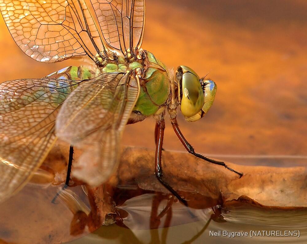 Emperor Dragonfly by Neil Bygrave (NATURELENS)