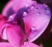 Everlasting Pea.. by Dawn Barger