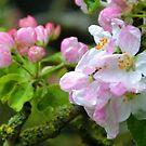 Apple Blossom in the garden,,, by lynn carter