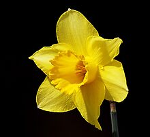Daffodil by wage