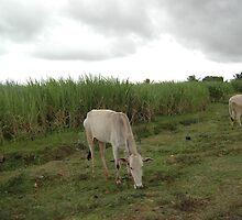 field cows by pugazhraj