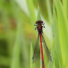 Red damselfly by wage