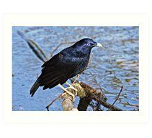 Satin Bowerbird  ~ Wet Satin Art Print