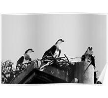 Osprey Chicks - Pandion  haliaetus Poster