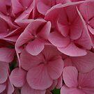 Pink Hydrangea by Alyce Taylor