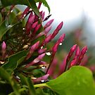 Jasmine in the rain. by lynn carter