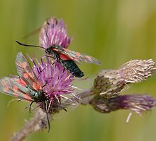 Six-spotted Burnet by Minne
