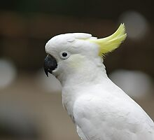 Cockatoo by Tammy Roberts