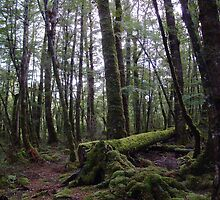 Beech Forest, Lake Manapouri wilderness area by davecorban