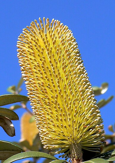 Coastal Banksia Flower by Graeme  Hyde