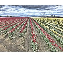 WHERE RED TULIPS MEET YELLOW Photographic Print
