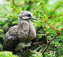 Baby Mourning Dove by Lynda   McDonald