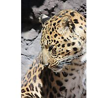 Shy Leopard Photographic Print