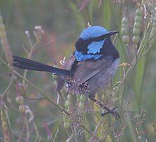 Blue Faced Wren by ShutterBuggz