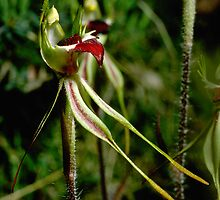 Green Comb Spider Orchid Asses Ears Road Grampians 19851012 0089 by Fred Mitchell