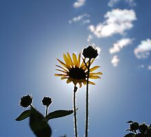 Sun and the Flower by jtodaworld