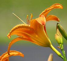 Orange Lily by Tammy F
