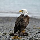 American Bald Eagle by Barbara Burkhardt