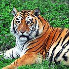 Tiger by RajeevKashyap