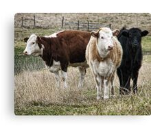 Three Cows Canvas Print