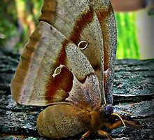 Cecropia Moth, side view by Tracy DeVore