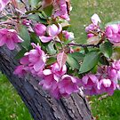 Crabapple Blossoms, 2015 by goddarb