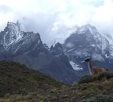 Guanaco and the Torres Del Paine by photoop
