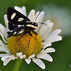 Eight-spotted forester (Alypia octomaculata) by PamelaJoPhoto