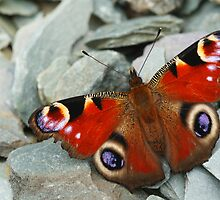 ...oooh a butterfly! Red White AND Blue! (Inachis Io) by George Parapadakis (monocotylidono)