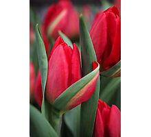 Tulip Fever Photographic Print