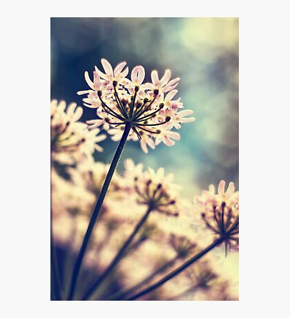 Queen Annes Lace flowers Photographic Print