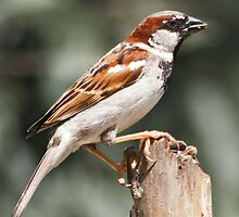 Backyard Sparrow - House Sparrow by (Tallow) Dave  Van de Laar
