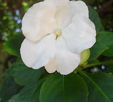 Impatience Flower by AlieW