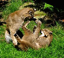 Bobcats Playing   #1 by Chuck Gardner