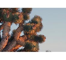 Joshua tree detail at sunset, Cima Dome, CA Photographic Print