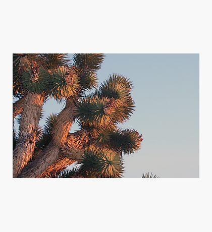 Joshua tree detail at sunset, Cima Dome, CA Photographic Print