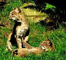 Bobcats Playing   #2 by Chuck Gardner