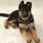 just look at me- Zena the puppy by janfoster