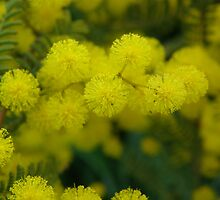 Acacia - spring by annmadbbionic