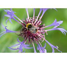 Bee on cornflower Photographic Print