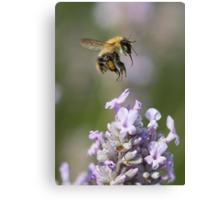 Bumble bee taking off from Lavender Canvas Print