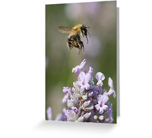 Bumble bee taking off from Lavender Greeting Card