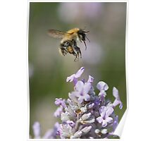 Bumble bee taking off from Lavender Poster