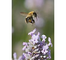 Bumble bee taking off from Lavender Photographic Print
