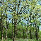 Springtime in the Woods by lorilee
