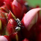 Daintree Ant by HeatherEllis