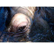 hippo adelaide zoo Photographic Print